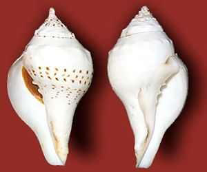 Conchshell Craft